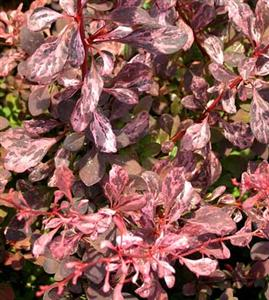 Berberis Thunbergii Pink Attraction
