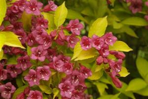 Weigela Florida Jean's Gold