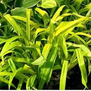 Carex Siderosticha Lemon Zest