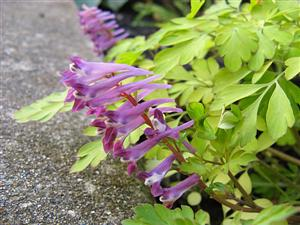 Corydalis Berry Exciting