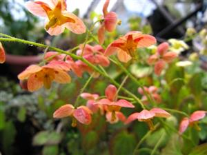 Epimedium Orange Konigin