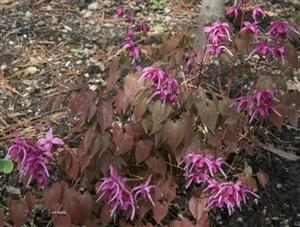 Epimedium Red Beauty