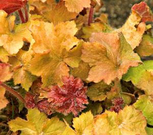 Heuchera Big Top Gold