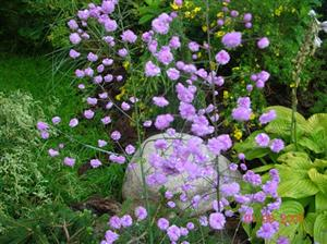Thalictrum Delavayi Hewletts Double