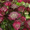 Astrantia Moulin Rouge.jpg