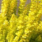Berberis Thunbergii Goden Torch