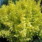 Berberis Thunbergii Golden Roket
