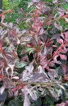 Berberis Thunbergii Pink Attraction (1).jpg