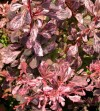 Berberis Thunbergii Pink Attraction (3).jpg
