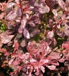 Berberis Thunbergii Pink Attraction.jpg