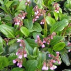 Bergenia Wintermarchen
