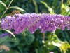 Buddleja Davidii Nanho Purple (2).jpg