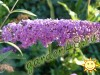 Buddleja Davidii Nanho Purple.jpg