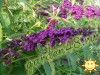 Buddleja Davidii Royal Red.jpg