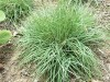 Carex Blue Zinger.jpg