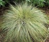 Carex Comans Frosted Curls.jpg