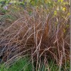 Carex Flagellifera Bronze (1).jpg