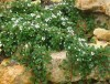 Cotoneaster Radicans Eichholz.jpg