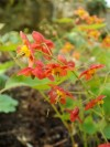 Epimedium Orange Konigin (2).jpg