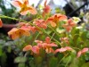 Epimedium Orange Konigin.jpg