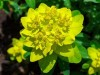 Euphorbia.jpg