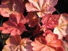 Heuchera Autumn Leaves (5).jpg