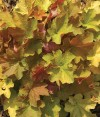 Heuchera Big Top Gold (3).jpg