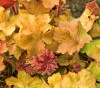 Heuchera Big Top Gold.jpg