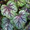 Heuchera Green Spice.jpg