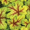 Heucherella Alabama Sunrise (1).jpg