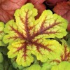 Heucherella Alabama Sunrise (2).jpg