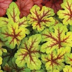 Heucherella Alabama Sunrise