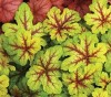 Heucherella Alabama Sunrise.jpg