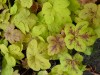 Heucherella Yellowstone Falls (2).jpg