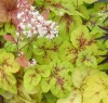 Heucherella Yellowstone Falls.jpg