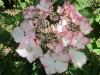 Hydrangea Macrophylla Love You Kiss (2).jpg