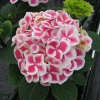 Hydrangea Macrophylla Red Ice