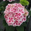 Hydrangea Macrophylla Red Ice.jpg