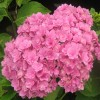 Hydrangea Macrophylla You And Me Together (1).jpg