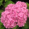 Hydrangea Macrophylla You And Me Together.jpg