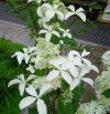 Hydrangea Paniculata Great Star (2).jpg