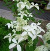 Hydrangea Paniculata Great Star.jpg