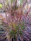 Miscanthus Sinensis Purple Fall (4).jpg