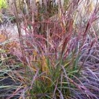 Miscanthus Sinensis Purple Fall
