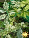 Parthenocissus Quinquefolia Star Showers.jpg