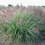 Pennisetum Alopecuroides Red Head