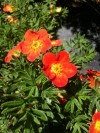 Potentilla Fruticosa Red Ace (2).jpg