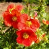 Potentilla Fruticosa Red Ace.jpg