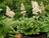Rodgersia Pinnata Superba (1).jpg