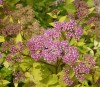 Spiraea Japonica Golden Carpet (1).jpg